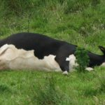 Wasted Cow Doesn't Even Make it to Dairy Day