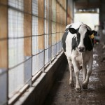 7 Cornell Dairy Cows That Should Stop Being So Goddamn Arrogant