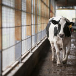 Milk-Lovers Beware! This Rogue Cornell Dairy Cow Is Trying To Steal All Her Milk Back