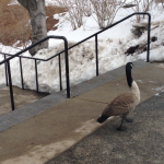 Geese Under Investigation for Suspected Hazing of Other Campus Fowl